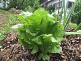 Quelques salades poussent mais elles sont victime des limaces cette année.