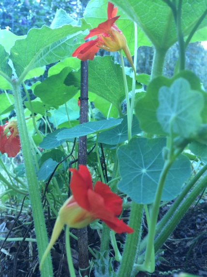 Super bon et beau à la fois! En plus elles attirent les pucerons qui ne ne vont pas sur les légumes.