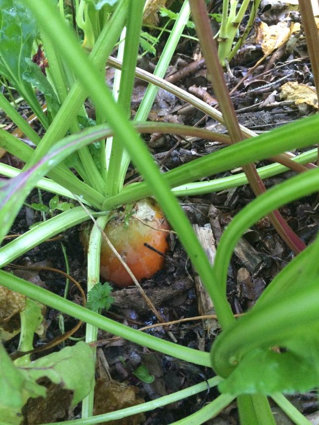 Carottes et bettraves mélangées dans les buttes. Attention les carottes c'est pas bon car on ne peut en planter 2 x au même endroit.