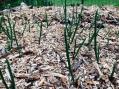 Avril 2017, les oignons se sont déjà bien développés.