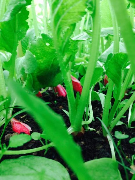 A l'intérieur de mon bac à semis, sous le tunnel ça pousse bien!