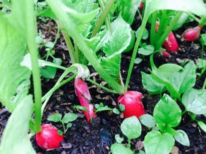 A peine en avril et déjà de beaux radis, mélangés avec des carottes.