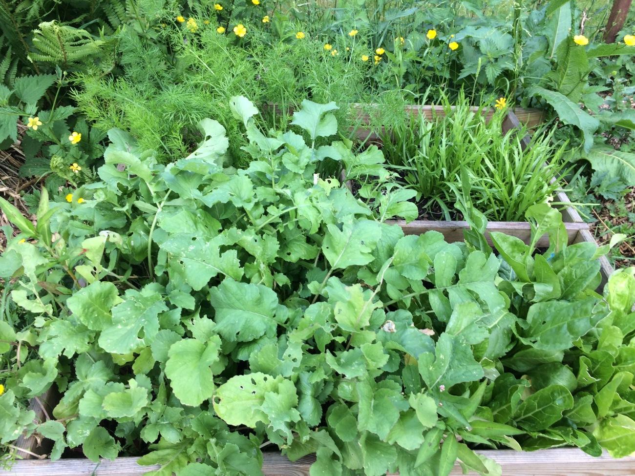 Bac à semis - radis - bettes - plantin - fenouil