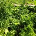 Mélange-tomates-laitue-salade-fenouil-épinards-