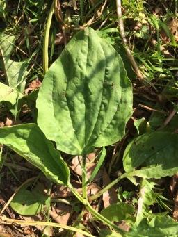 Plantin sauvage dans le jardin
