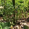 Tomtates siberiennes plantées au centre du tipi