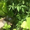Arosage aux pieds des tomates bac