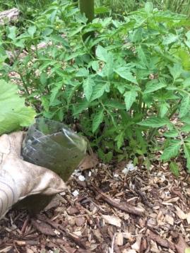 Mettre de l'engrais aux pieds des tomates