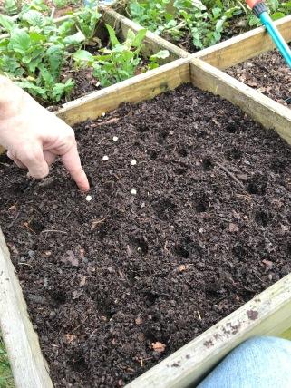 11 semis petits pois