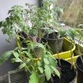 26 tomates en interieure