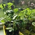 40 Feves tomates fenetre