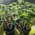 40 Tomates fenetre