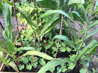 Mélange haricots-princesse et maïs