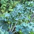 27_Choux frises kale