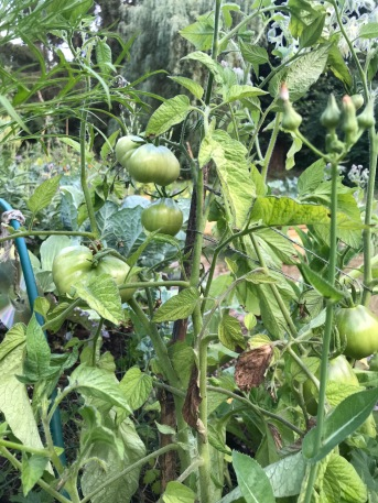 2_Tomates 2 butte1