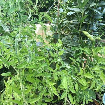 Tomattes-choux-fèves