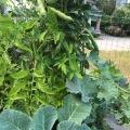 6_Melange tomates_choux_feves