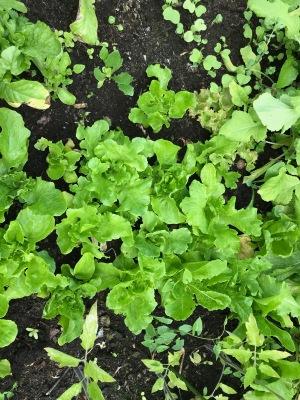 Salades a couper