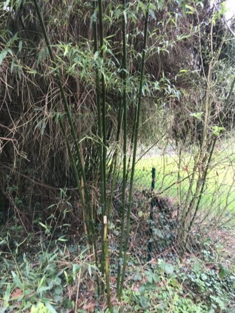 Bambous dans le fond du jardin